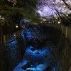 ヨザクラ ライトアップ (*´ω`*)の画像