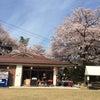 桜まつりでしたの画像