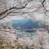 平成最後の桜 ~君が野ダム・レッドヒル・旭化成~の画像