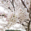 ~花桜菜(はなはな)まつり~の画像