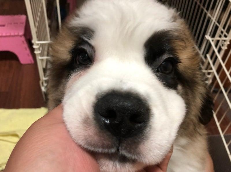 Resultado de imagen para 犬 saint bernard ママ