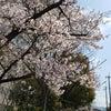 お花見日和の画像