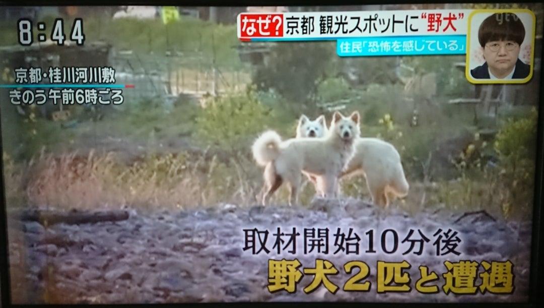 京都・野犬問題 | ボーダーコリー♥Lettyの日常