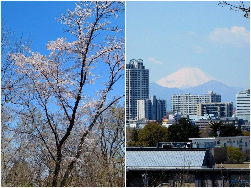 府中の名山浅間山の桜と富士山