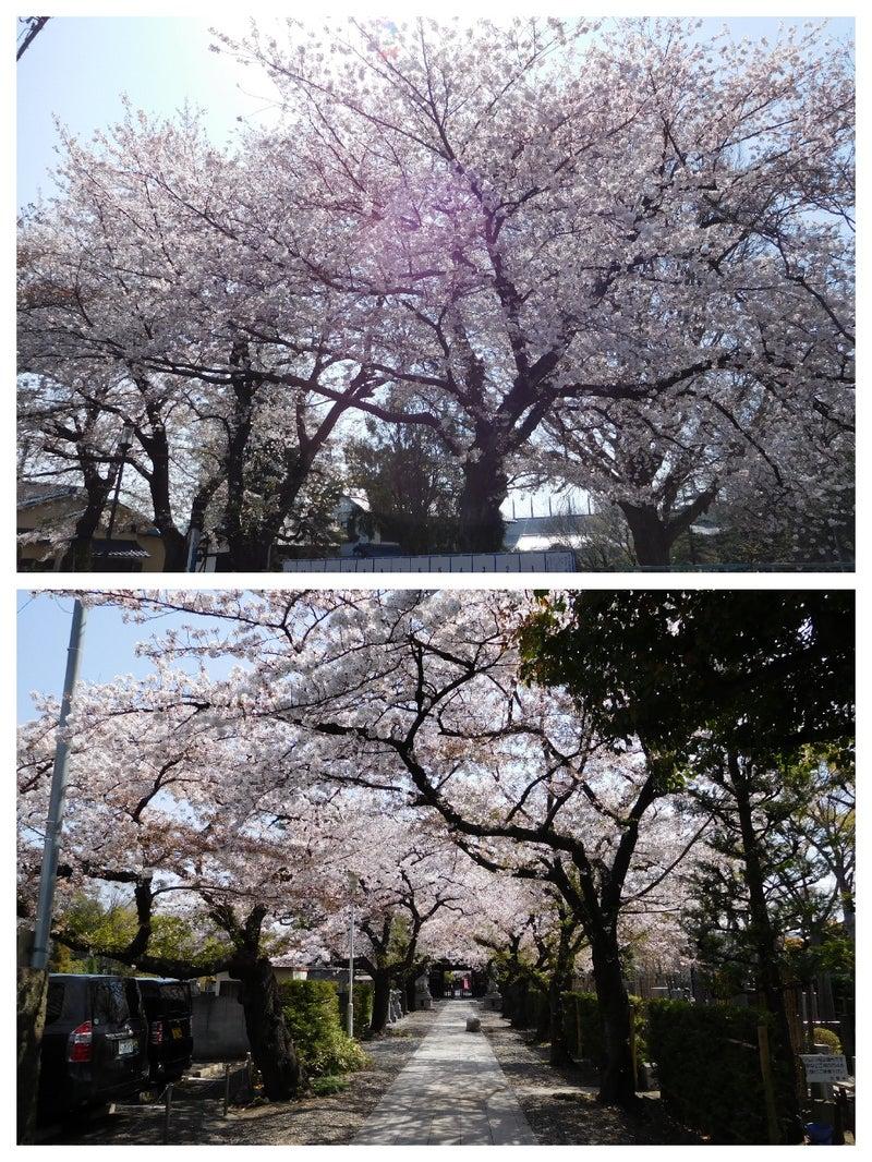 普門寺と安養寺の桜
