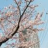 桜さんぽ(0408)の画像