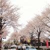 桜満開! in 鹿沼市街&宇都宮の画像