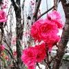 京都道場サクラの旅の画像