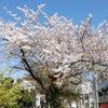 声ブロ:桜 〜 blossom の発音の画像