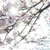 雨と桜の画像