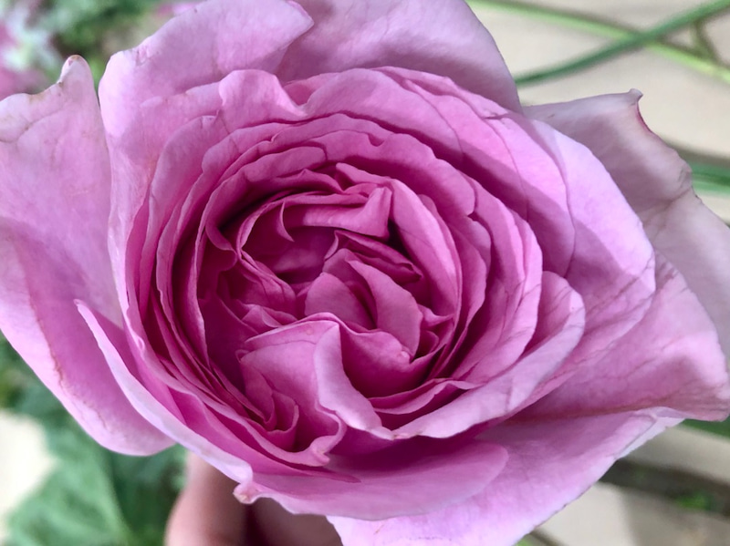 バラの香り 春のバラ 香りのバラ イブ