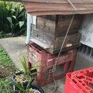 日本蜜蜂の記事より