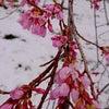 圧巻!1000回生まれ変わり咲く桜の画像