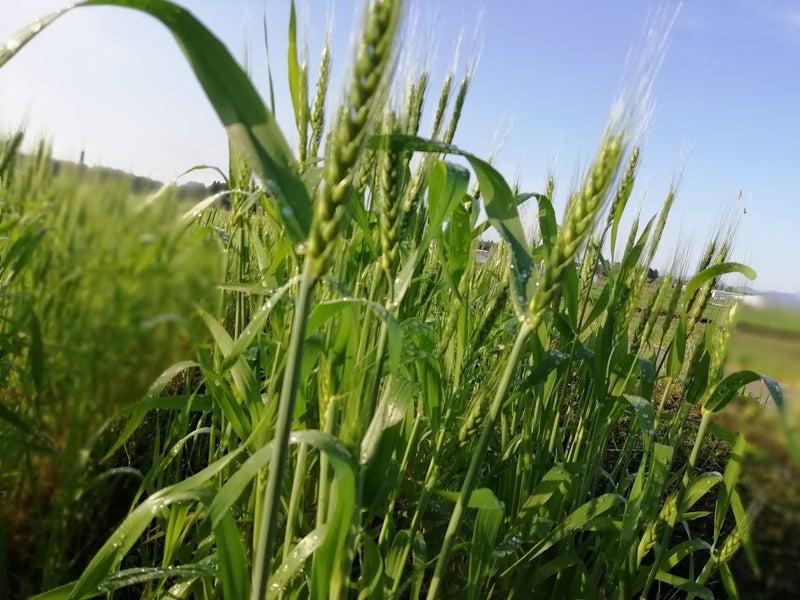 自然栽培小麦の出穂