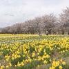 * 桜と水仙のお花見にの画像