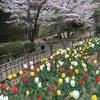 * 初めての吾妻公園で、桜とチューリップの画像