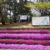 色鮮やかな芝桜!「横山城跡」への入口です