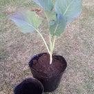 茎ブロッコリー 植え付けの記事より
