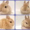 とても珍しいカラーのウサギがきました!