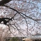 サクラ・さくら・桜の記事より