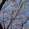 お花見散歩の画像