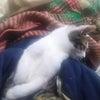 猫さん面白画像 125 ナデナデでとろけ顔の子猫サバ吉くんの画像