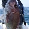 ヒラス&甘鯛&デカ真鯛の画像