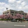 八重桜がきれいですねの画像