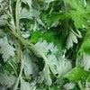 植物療法<ヨモギ(蓬)>の画像