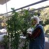 きぬさやの収穫 in 二番館2階の画像