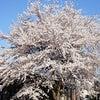 桜満開の画像