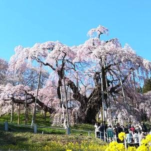 三春の滝桜の画像