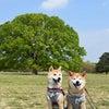 『昭和記念公園』で柴犬わらわらです!の画像