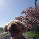 20日の八重桜散歩ですよ~♪の記事より