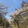 しだれ桜の見事な公園みつけた!!の画像