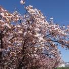 20日の八重桜散歩の後半です。の記事より