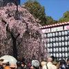 お花見〜上野の画像