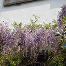 21日の散歩と藤の花です~動画も。の記事より
