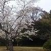 平成時代の最後の桜吹雪の画像