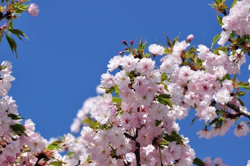 静桜064