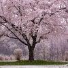 満開の桜に雪~~の画像