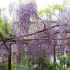 22日の散歩と藤の花ですよの記事より