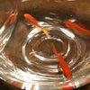 金魚がサロンにやって来た♪の画像