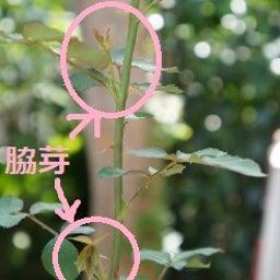 画像 耐病性のあるバラ「シャリマー」♪台風に負けず咲く(*^^)v の記事より 9つ目