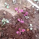 スナックエンドウ 白い花が咲きましたの記事より