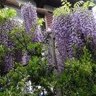 4月24日の散歩と藤の花~(笑)の記事より