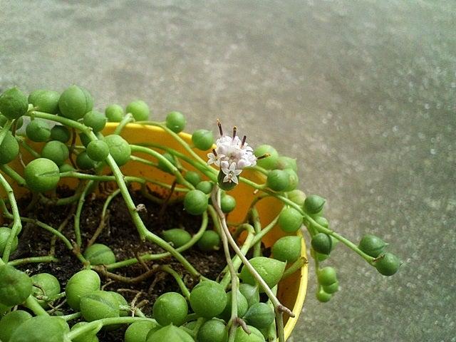 20190429-121-グリーンネックレスの花