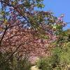 牡丹桜と薬膳スウィーツのヤマ旅@高御位山の画像