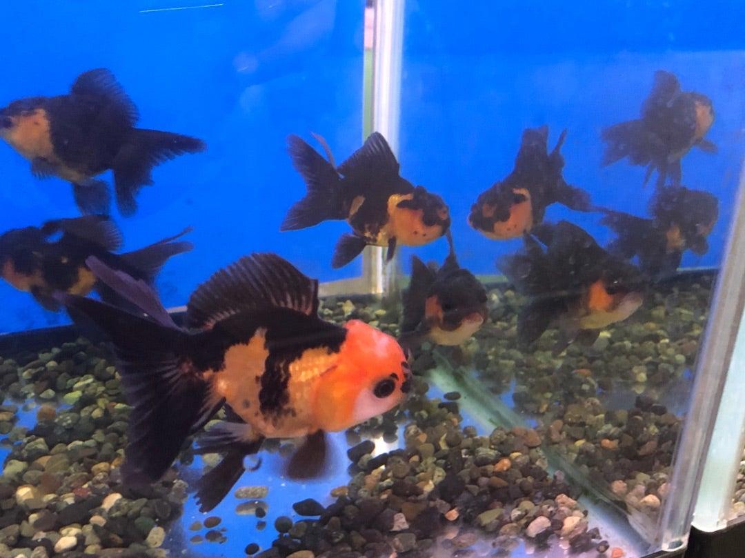 虎オランダ 志村産東錦など入荷しています。 | 金魚やぶろぐ by ...