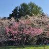 桜の円山の画像